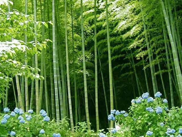 Vai trò của cây tre với sự ứng phó biến đổi khí hậu